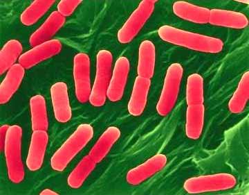 Escherichia Coli เชื้ออีโคไล การแพร่กระจายของเชื้ออีโคไล O157:H7